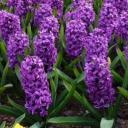 Hyacinth Blessings Small Banner