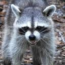 Raccoon hideout Small Banner