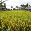 The Rice Fields Small Banner